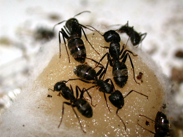 Carpenter Ant Pest Control, Pest Control Toronto Crew Toronto ON