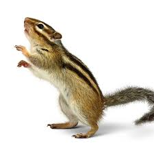 Chipmunk Removal Pest Control, Toronto ON