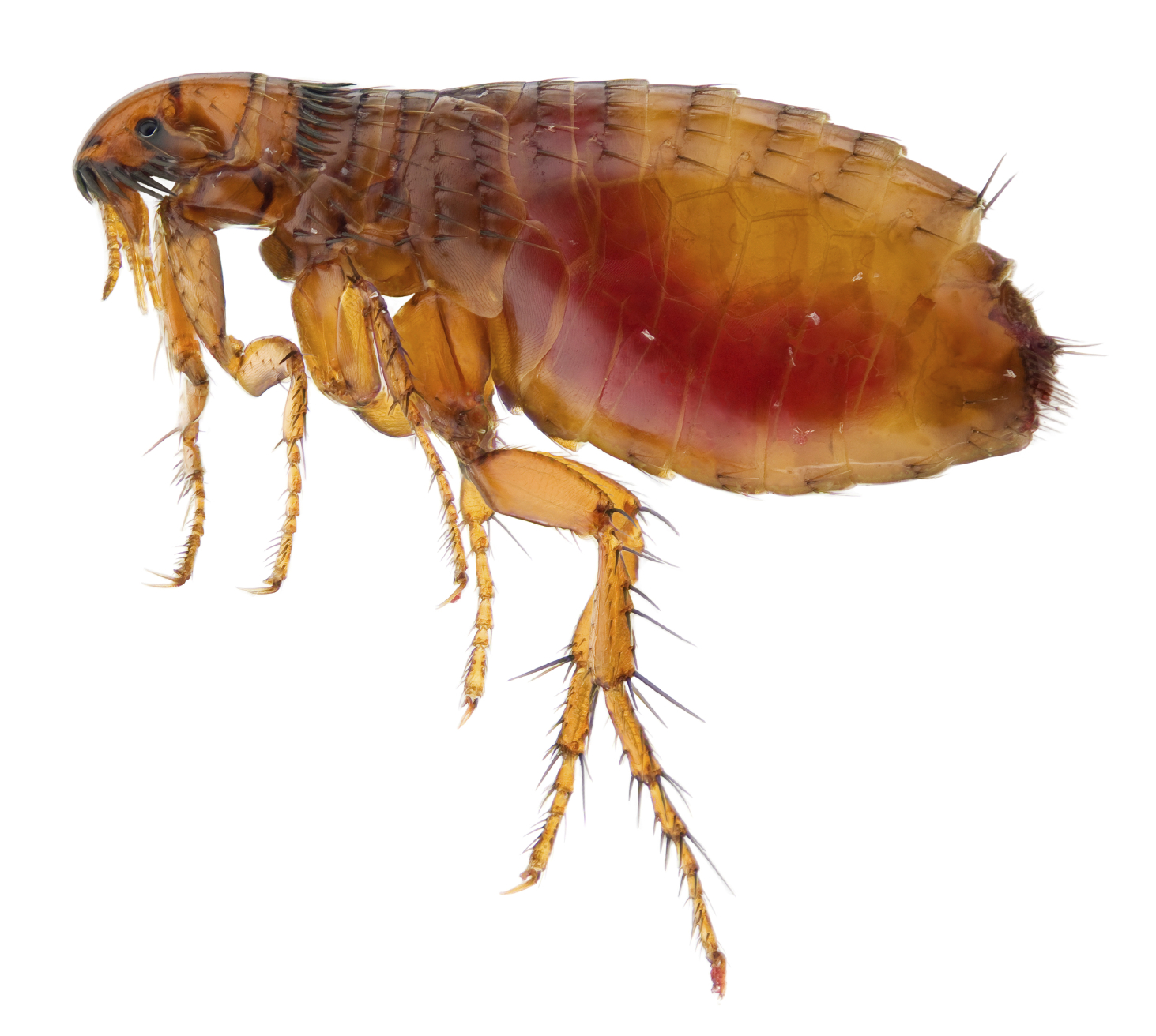 Flea Pest Control, Toronto ON