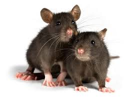 Rodent Pest Control, Toronto ON