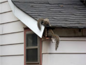 Squirrel Removal Pest Control, Pest Control Toronto Crew Toronto ON